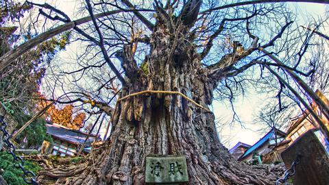 上日寺の大イチョウ