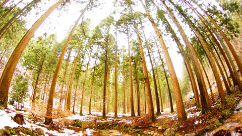 神聖な雰囲気の杉林 α55 RoxinonFishEye