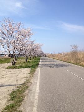 フラットな桜並木の道
