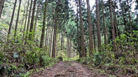 ここからは未舗装路。杉林は続く