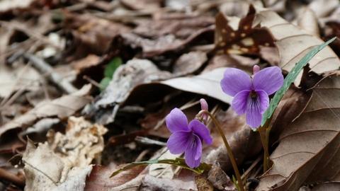4月、スミレが咲いていた