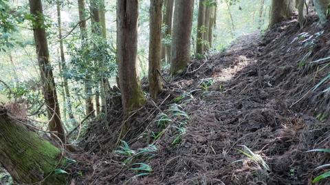杉の葉でふかふかした尾根をトラバースしていく