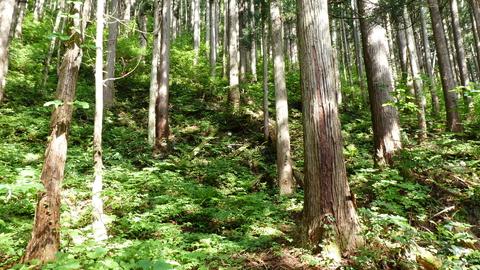 杉林を踏み跡をたどりジグザグに登る