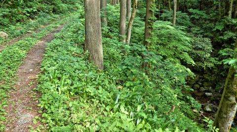 車の轍がついている渓流沿いの林道を歩く