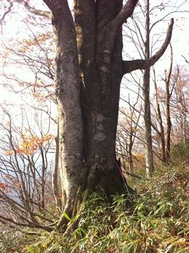 全周3.8mのブナの巨木