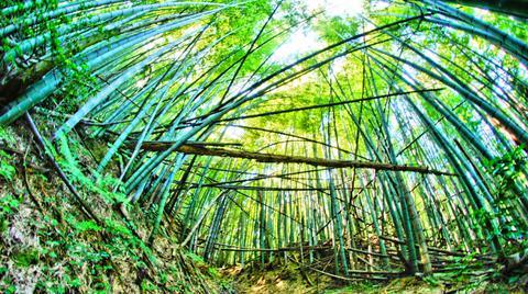 あたりは竹林に
