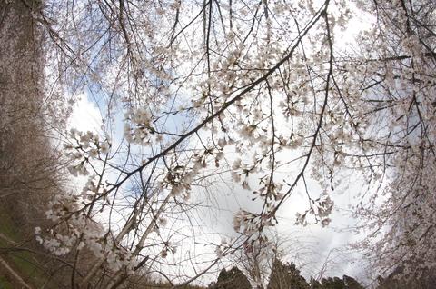 平町千本桜展望台より 中段くらい