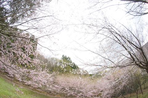 平町千本桜展望台より 桜の海