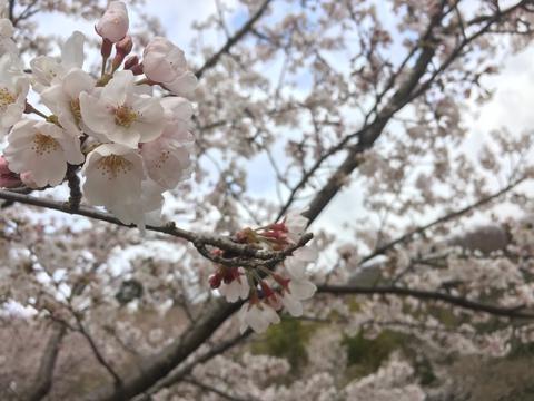平町千本桜展望台より 下の方は満開
