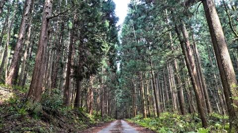 枯れスギでふかふかの林道歩き