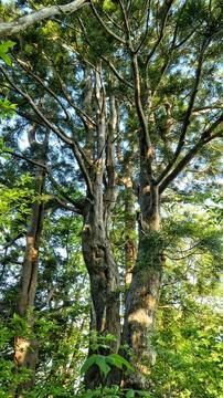美術館の彫刻のようなブナの木が沢山