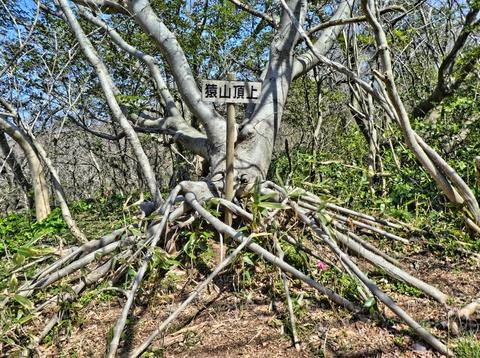 猿山山頂。展望はないがこの木が迫力