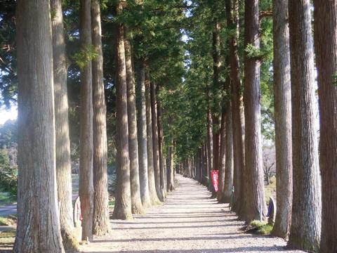 セラピーロードの名に相応しい栂並木
